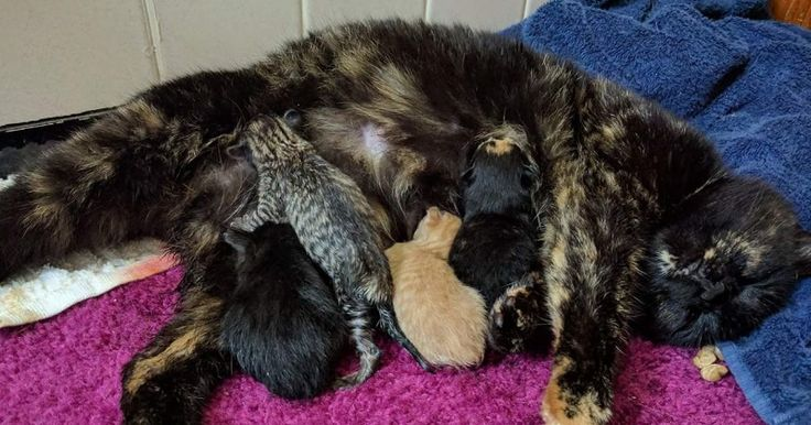 Cette chatte écaille de tortue a donné naissance à 5 chatons aussi uniques qu'elle