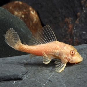 albino-pleco tropical fish for sale online