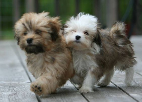 Havanese - dogs that we all love they r playful funny ant they love being the cloun of the house: