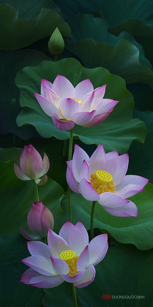 35PHOTO - duong quoc dinh - Lotus   Flowers   Lotus, Lotus ...
