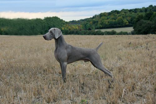Weimaraners are a beautiful dog breed. This one pictured is on point and ready to hunt! This sleek silver-gray breed originated in early 19th century, developed to hunt bear, boar, and other large game in the dense forests of Germany's Weimar region. Exceptional tracking ability, incredible athleticism, and brains were essential for their work.