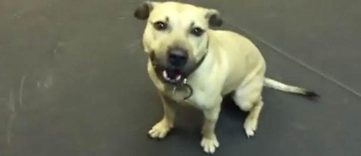 Finn, deze Amerikaanse #Pitbull heeft een bijzonder slecht leven gehad aangezien hij werd ingezet bij #hondengevechten. In 2013 werd hij samen met 367 andere honden gered en geniet nu van het leven én van pizza.