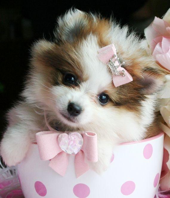 Teacup Pomeranian Puppies, Pomeranian dogs Bijna echt. Te klein en te duur.  Hond is geen speelgoed.