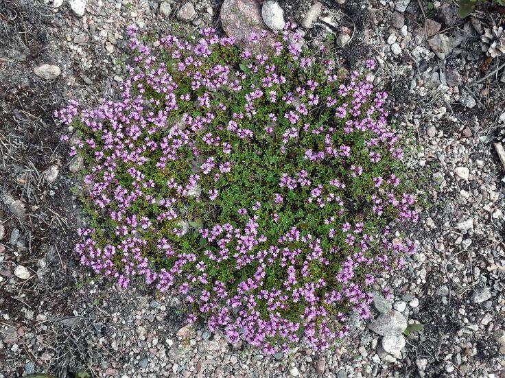 Kangasajuruoho, Thymus serpyllum - Kukkakasvit - LuontoPortti  Photo: Jouko Lehmuskallio
