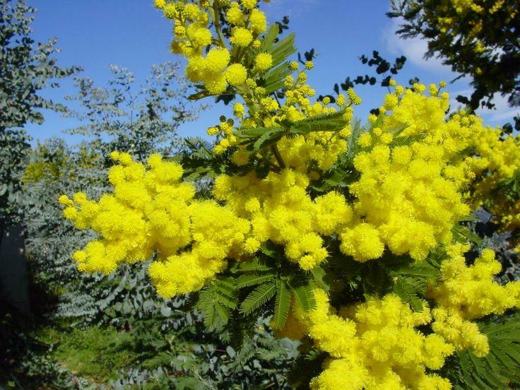 Mimosa - Fragonard PARFUMEUR #flower  #fleur #Riviera #mimosa