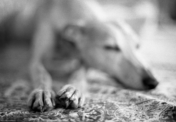 1000+ Images About Whippet On Pinterest