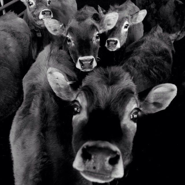 """Evidently """"selfies"""" are all the rage~here's the dairy farm version."""