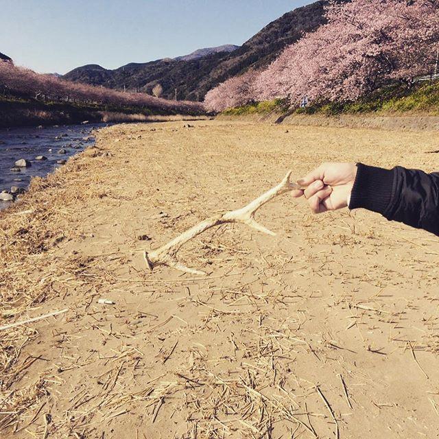 【pe_taman】さんのInstagramをピンしています。 《野生の勘(笑) 鹿の角は如何ですか?リアルな鹿の角は海に揉まれ河口まで戻って来た模様 #野生の勘#鹿#オブジェ#インテリア#桜#散策#本物#animal》