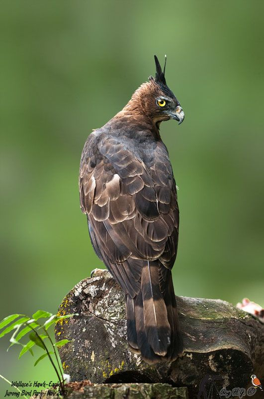 The Wallace's Hawk-Eagle(Nisaetus nanus earlier under the genus Spizaetus[2]) is a species of bird of prey in the Accipitridae family. It is found in Brunei, Indonesia, Malaysia, Myanmar, and Thailand. Its natural habitat is subtropical or tropical moist lowland forests. It is threatened by habitat loss.