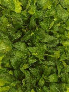 How to Make peppermint Oil From Fresh Peppermint. Got my plant this week. :)