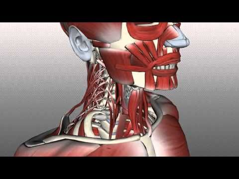 ▶ Neck Muscles Anatomy - Posterior Triangle, Prevertebral and Lateral Muscles - YouTube