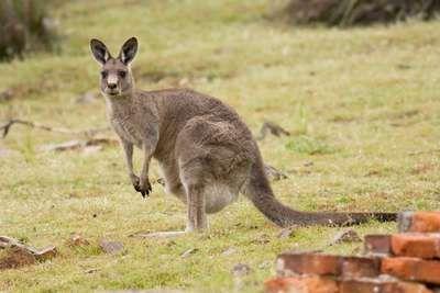 #Female #kangaroos have #three #vaginas down there! Sadly, this doesn't mean #male #kangaroos have three penises.