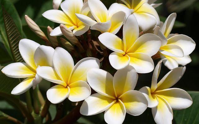 White Frangipani Plumeria Alba Kamboja Putih Plumeria Flowers Plumeria Frangipani