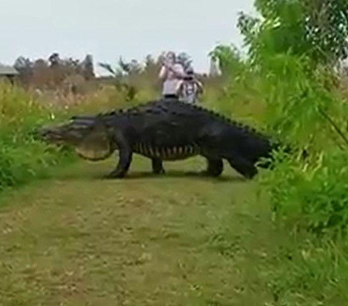 InfoNavWeb                       Informação, Notícias,Videos, Diversão, Games e Tecnologia.  : 'Godzilla' nos EUA: Crocodilo gigante é visto em p...