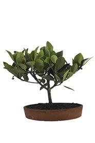 Bonsai Camelia Andina, Este bonsái proveniente del Área Andina de nuestro país, se considera una de las mas hermosas plantas miniaturas, que alegran el hogar es el tipo de obsequio que sorprenderá a quien lo reciba siendo los numero uno en floristerías en Bogotá Online, para envió  a domicilio en Bogotá. http://www.magentaflores.com/productos/bonsai/details/14/19/bonsais-en-bogot%C3%A1-tienda-de-regalos-online%7C-venta-de-bonsai/bonsai-camelia-andina.html