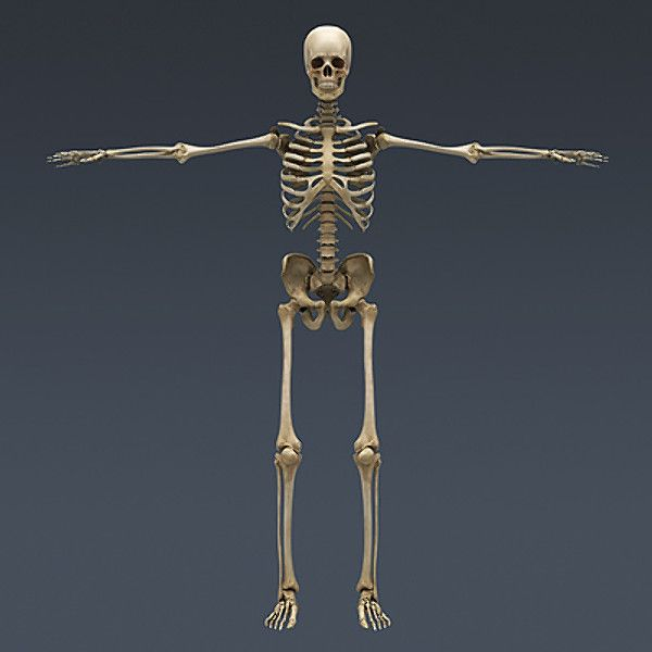 human skeleton - nose anatomy 3d model