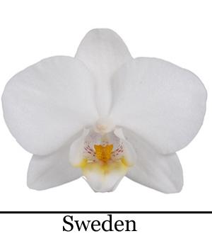 Phalaenopsis Sweden
