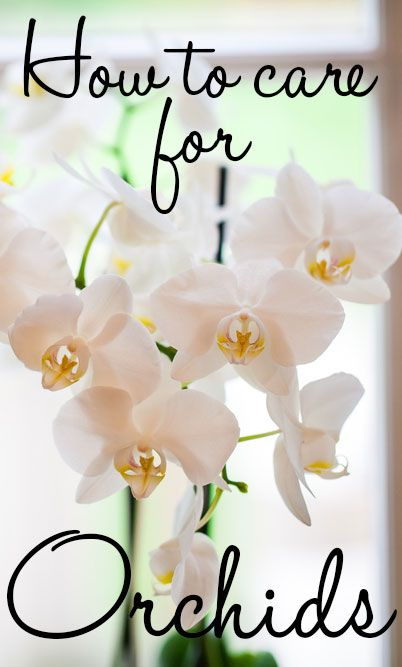 How to care for orchids - grow orchids as houseplants! There is a proper way to care for them so they bloom for months on end