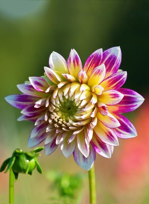 Die 25+ Besten Ideen Zu Dahlie Auf Pinterest | Dahlien Blumen ... Dahlien Pflanzen Anleitung Gaertner