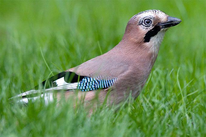 die besten 25 vogelarten deutschland ideen auf pinterest kolibri in deutschland kolibri. Black Bedroom Furniture Sets. Home Design Ideas