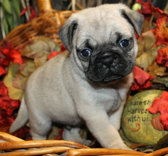 Male And Female Fawn Black Pug Puppies Available For Sale Black