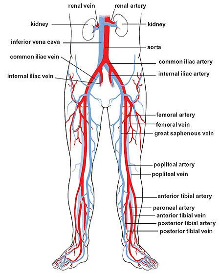 circulation in the legs