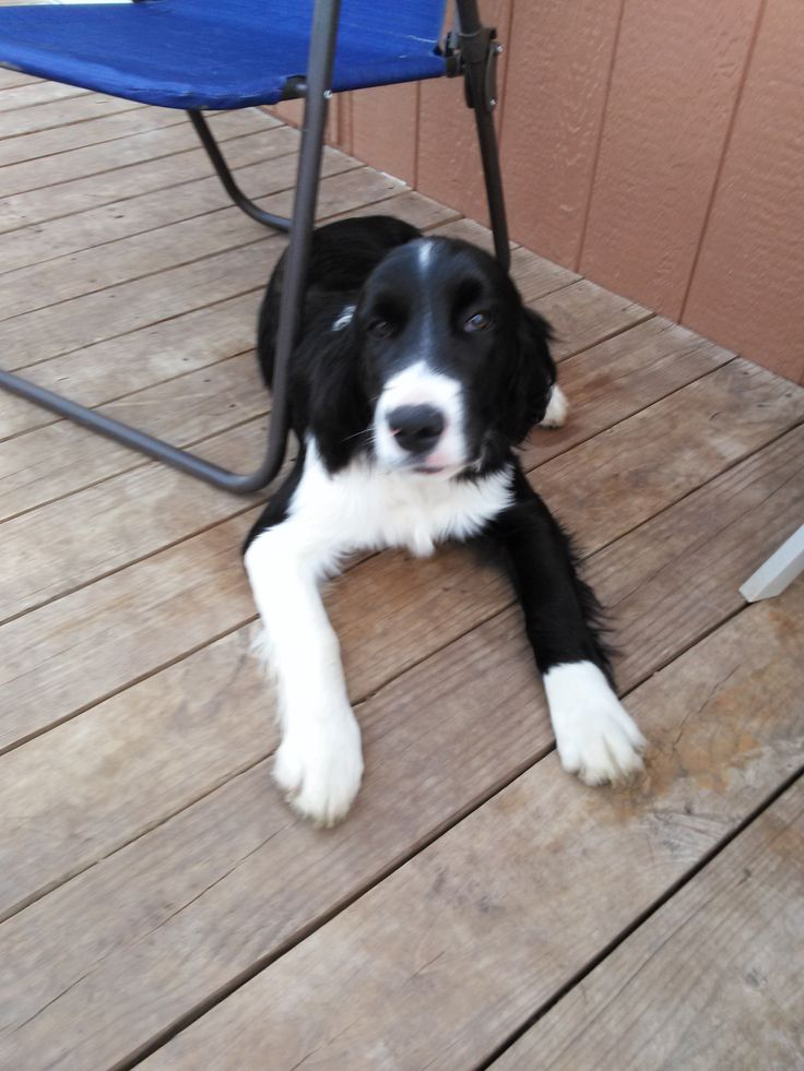 Adopt an English Springer Spaniel  Maggies Spaniels hasEnglish Springer Spaniel for sale to a good home.    The English springer spaniel is lively, cheerful and lively, prepared for a day in the field and an evening by the fireplace. He might be to...