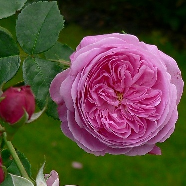 ~Bourbon Rose Louise Odier