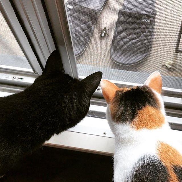 ベランダでジタバタしてる虫さんに、かぶりつきのお二人さん😹😹 この後、無事に飛んで行きました〜  #freetempo_0323 #iPhoneography #猫 #ねこ #ネコ #cat #cats #instacats #mycat #lovelycat #nekostagram #catstagram #lovecats #catlover #癒し #家猫 #愛猫 #ジジらいふ #きなこらいふ #にゃんら部 #かぎしっぽ #靴下猫 #sockscat #nekoclub #三毛猫 #白黒猫 #保護猫 #ねこすたぐらむ #にゃんすたぐらむ #にゃんだふるらいふ