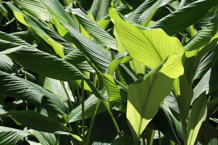 Turmeric's leaves(Curcuma longa) - but turmeric's health benefits come mainly from its root.