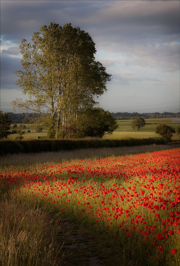 Evening Poppies in a Shropshire field - England