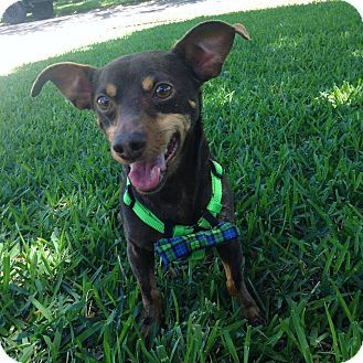 St Petersburg, FL - Dachshund/Miniature Pinscher Mix. Meet Buddy, a dog for adoption. http://www.adoptapet.com/pet/18234609-st-petersburg-florida-dachshund-mix