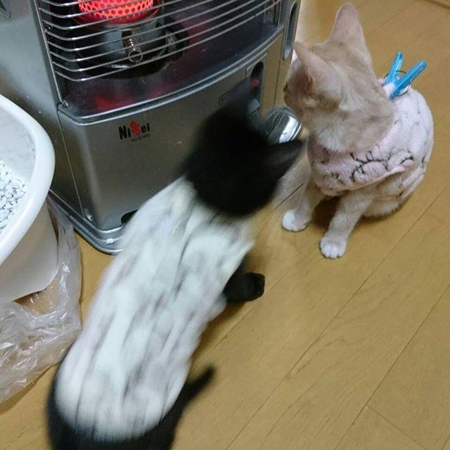 クム♥️ピノ #服を着せられる#服を毛づくろい#ストーブが好き#猫風邪治療中#猫カビ治療中#多頭飼い#CAT#愛猫#保健所出身#捨て猫出身