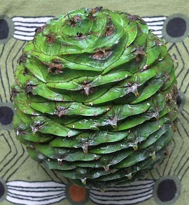 edible culture: Bunya Pine Nuts: How to Prepare for Cooking