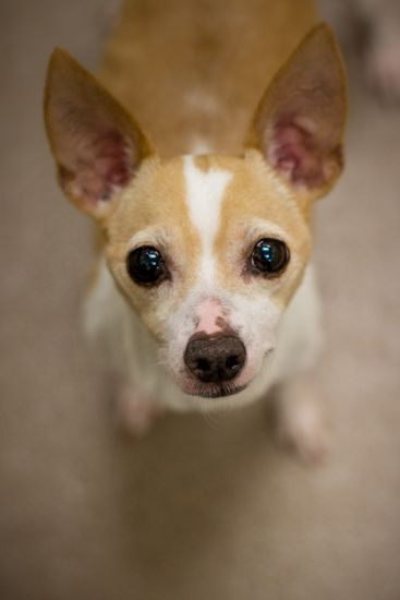 17 Best Images About Chihuahua Terrier Mix Dogs On