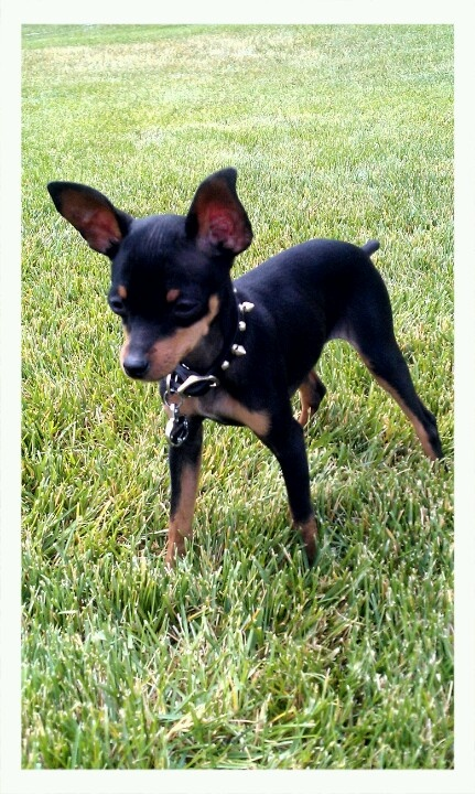 One day I will have a min pin and I will call him Rambo and he will have a spiked collar like this.