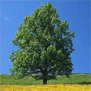 Гороскоп друидов - фото дерево ясень 1