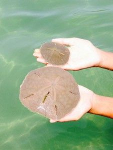 Anna Maria Island Sand Dollars. Make sure to never take living sand dollars from the waters around Anna Maria Island, as it's against state regulations.