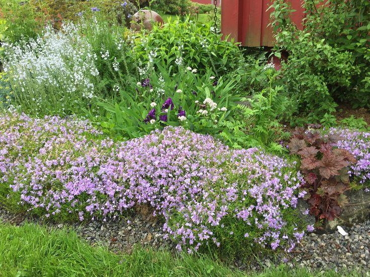 I begynnelsen av juni er dette bedet på sitt aller vakreste. Vårfloks, gamle, lave iris og noe annet jeg ikke vet hva heter