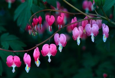 Bleeding Hearts are shade plants and apparently need slightly acidic soil. Guess I'll have to move.