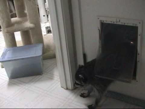 Raccoon sneaks into a house thru pet door!