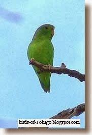 Green-rumped Parrotlet  http://birds-of-tobago.blogspot.com/2013/10/green-rumped-parrotlet.html  #Green-rumped Parrotlet #parotlet #lovebirds #parakeets #tropical #birds #Tobago #West Indies #Trinidad & Tobago #Caribbean