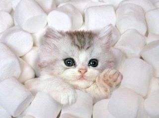 Marshmallow kitten