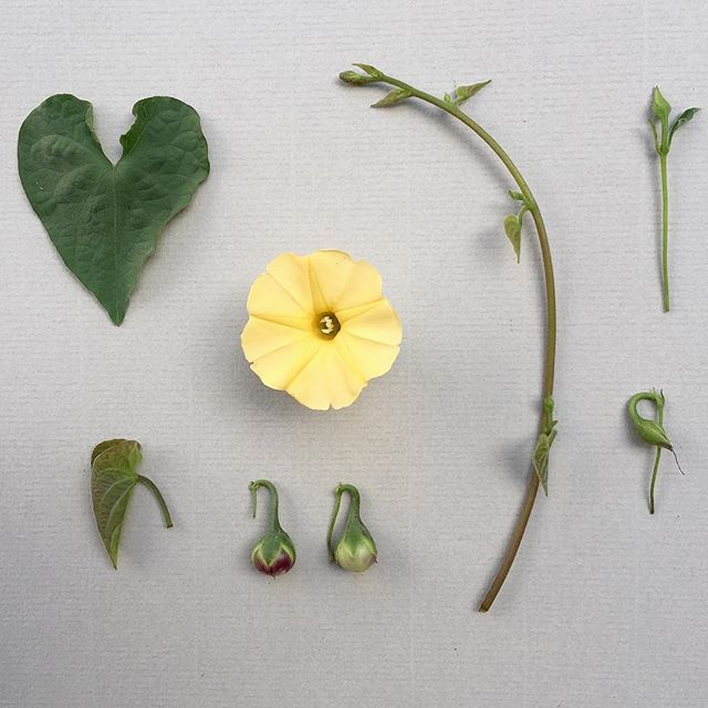 I P O M O E A . obscura deconstructed. Perennial vine with heart shaped leaves. Grows in Tropical and Southern Africa as well as Tropical Asia and Australia. #botanicaldeconstruction #ipomoea #yellow #zimbabwe #harare #convolvulaceae #pastel