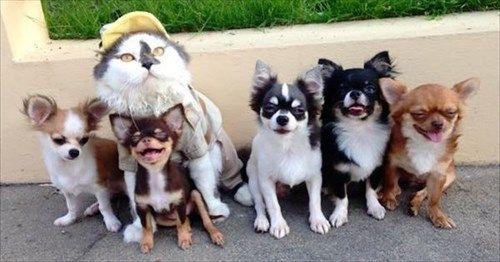 ネコ親分と7匹のチワワの大家族がとても幸せそうな 9枚   BUZZmag