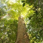 Perjuangan Sui Utik Menjaga Hutan Kalimantan