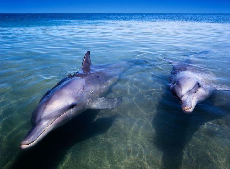 Shark Bay in Australië: zeekoeien, dolfijnen, haaien, roggen, meer dan 200 soorten vogels en 320 soorten vissen.