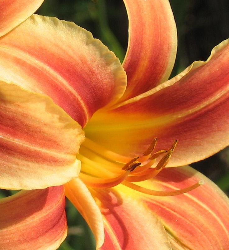 Northern Lights Daylilies