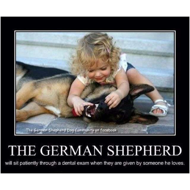 This is EXACTLY why I love Shepherd!! my oldest when she was a toddler led my brothers shepard round the house by her tongue! lol i miss having a shepard