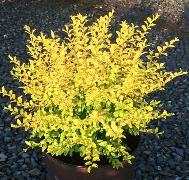 Front yard garden plants - 1000 Ideas About Ligustrum On Pinterest Ilex Aquifolium Lantana